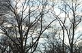 Bare trees and clouds and sky in December in NJ.JPG