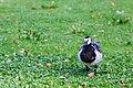 Barnacle Goose - 9-23-14 - Bois de Vincennes, Paris, FR (20123700016).jpg