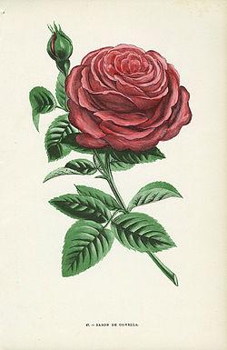 Bourbon Rosa Wikipedia La Enciclopedia Libre