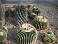 Barrel Cactus (Echinocactus grusonii) (3424144557).jpg