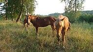 Bashkir horse.JPG