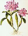 Bateman orchidaceae.jpg