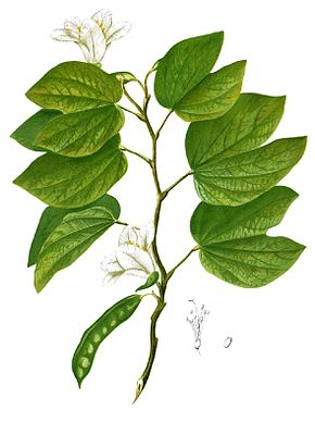 Description de l'image Bauhinia acuminata Blanco1.111-cropped.jpg.