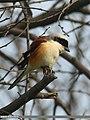 Bay-backed Shrike (Lanius vittatus) (33968971281).jpg