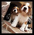 Beagle photographs by Rafael Acorsi 09.jpg
