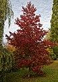 Beale Arboretum Sweet Gum - West Lodge Park - Hadley Wood Enfield London.jpg