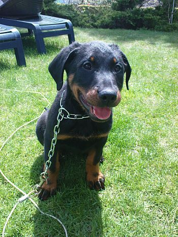 Beauceron junior.jpg