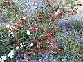 Beaufortia cyrtodonta (habit).JPG