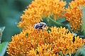 Bee on Butterfly Milkweed (35314608561).jpg