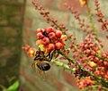 Bee on Mahonia blossom (29248457954).jpg