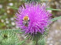 Bee on Thistle - geograph.org.uk - 496053.jpg