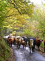 Beef on the move - geograph.org.uk - 1028181.jpg
