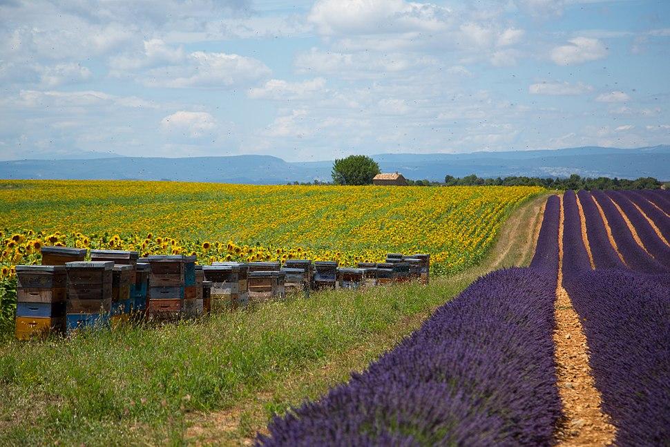 Bees outside Aix-en-Provence