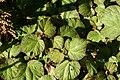 Begonia Boomer 8zz.jpg