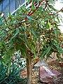Begonia dregei 001.JPG