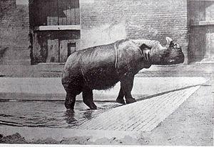 "Northern Sumatran rhinoceros - A female Northern Sumatran rhinoceros ""Begum"" in London Zoo from 15 February 1872 to 31 August 1900."