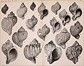 Beiträge zur Kenntnis der Molluskenfauna der Magalhaen-Provinz (1904) (20363282175).jpg