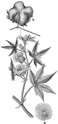 Beklädnadsväxter, Gossypium herbaceum, Nordisk familjebok
