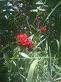 Belles annuelles rouges près du ruisseau (4723639712).jpg