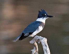 Belted Kingfisher.jpg