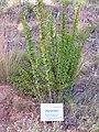 Berberis hispanica Habitus 2010-7-17 JardinBotanicoHoyadePedraza.jpg