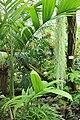 Berlin-Dahlem, botanischer Garten, tropische Farne.JPG