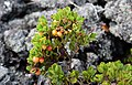 Berries Amidst the Rocks (24449103966).jpg