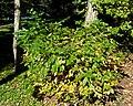 Betula davurica (Dahurian Birch) (38246409131).jpg