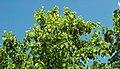 Betula maximowicziana (monarch birch) 2 (39658867831).jpg