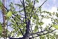Betula nigra Duraheat 4zz.jpg