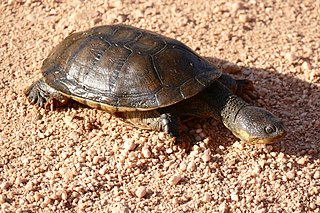 Big-headed pantanal swamp turtle species of reptile