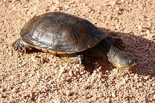 Big-headed pantanal swamp turtle Species of turtle