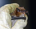 Big brown bat eats a meal worm (7241384196).jpg