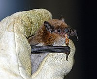 A big brown bat, eating a mealworm