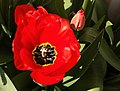 Big red tulips with black and yellow center.jpg