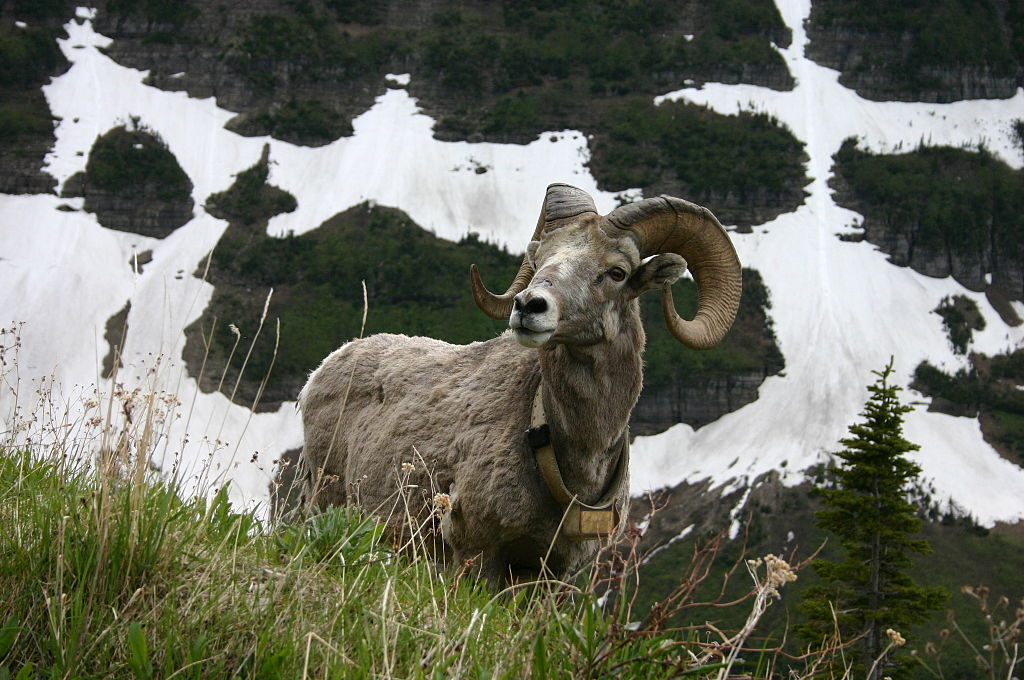 http://upload.wikimedia.org/wikipedia/commons/thumb/8/8f/Bighorn_Sheep_over_Patches_of_Snow.jpg/1024px-Bighorn_Sheep_over_Patches_of_Snow.jpg