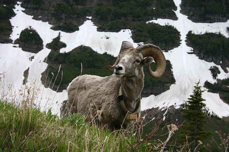 File:Bighorn Sheep over Patches of Snow.jpg