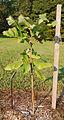 Bigleaf Magnolia Magnolia macrophylla Sapling 1550px.jpg