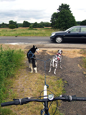Bikejoring - Waiting to cross a road with two dogs