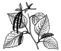 Birch (PSF).png