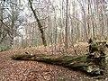 Birch wood, Dawyck - geograph.org.uk - 346373.jpg