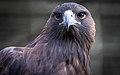 BirdAdler.jpg