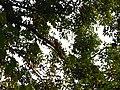 Bird White-throated Brown Hornbill Anorrhinus austeni IMG 9075 06.jpg