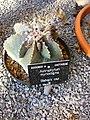 Bishop's cap - Astrophytum myriostigma.jpg