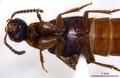 Bisnius blandus 0058539 ventral.tif
