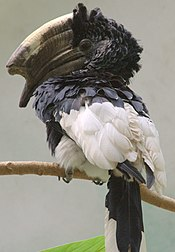 Black-and-white-casqued Hornbill - Bronx Zoo.jpg