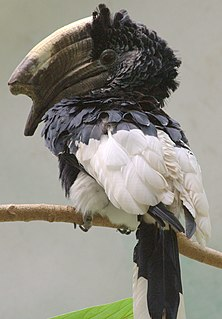 Black-and-white-casqued hornbill species of bird