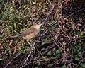 Black-browed Reed Warbler.jpg