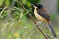 Black-capped Mocking Thrush (Donacobius atricapilla) (28366832564).jpg