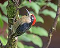 Black-cheeked Woodpecker (46394538641).jpg